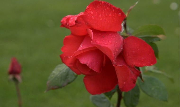 ASAC red-rose-dsc04395